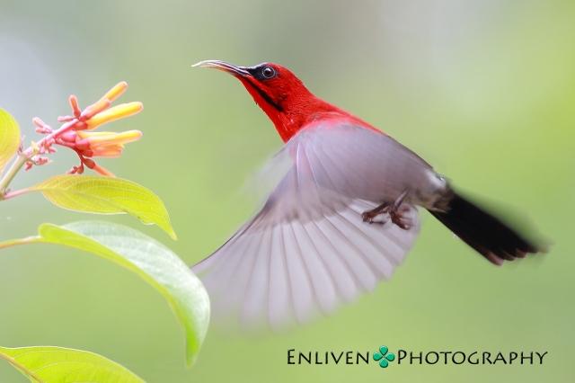 crimson-sunbird-vng_0314