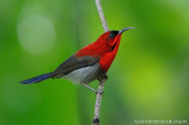 crimson-sunbird