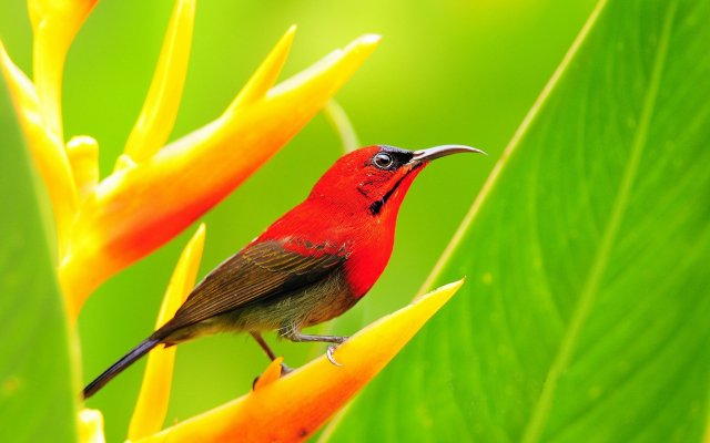 crimson_sunbird-wide