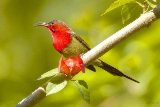 Crimson_sunbird