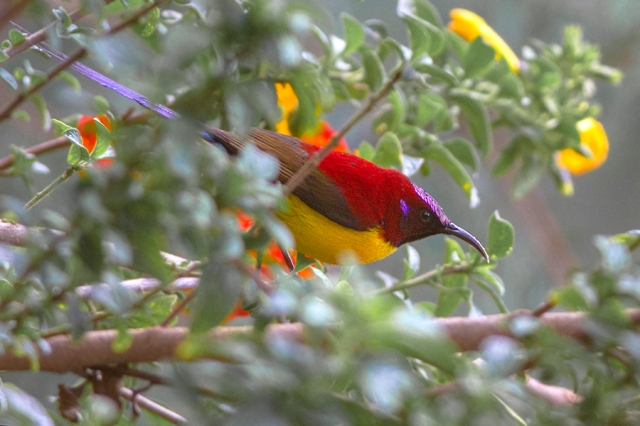Crimson_Sunbird_Khangchendzonga_National_Park_West_Sikkim_India.30.03.2016