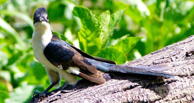 Thick-billied Cuckoo - Ruaha 2013