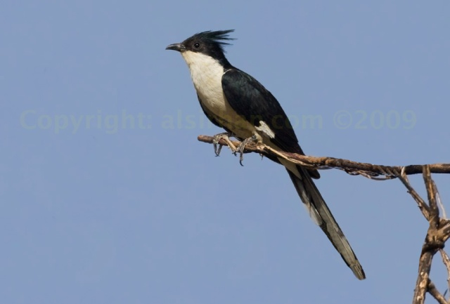 jacobin_cuckoo_mg_8183_1