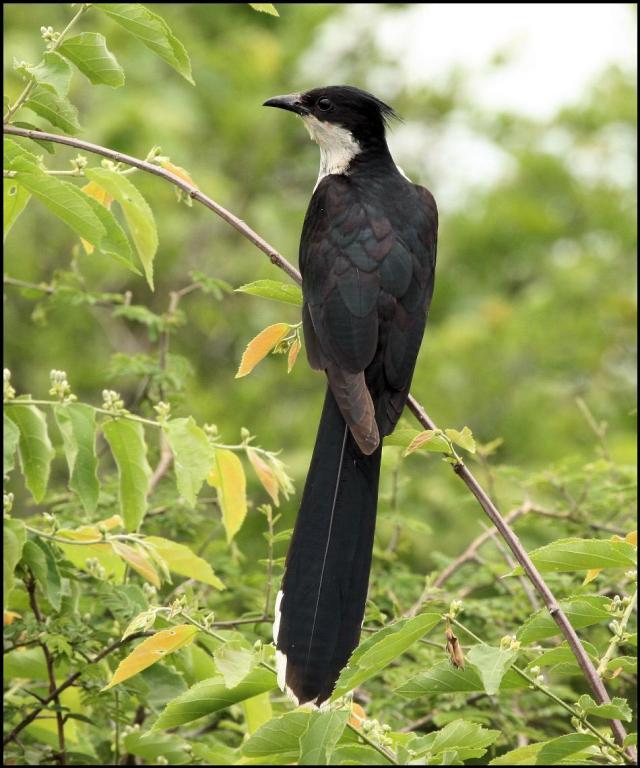 Levaillant's Cuckoo - K