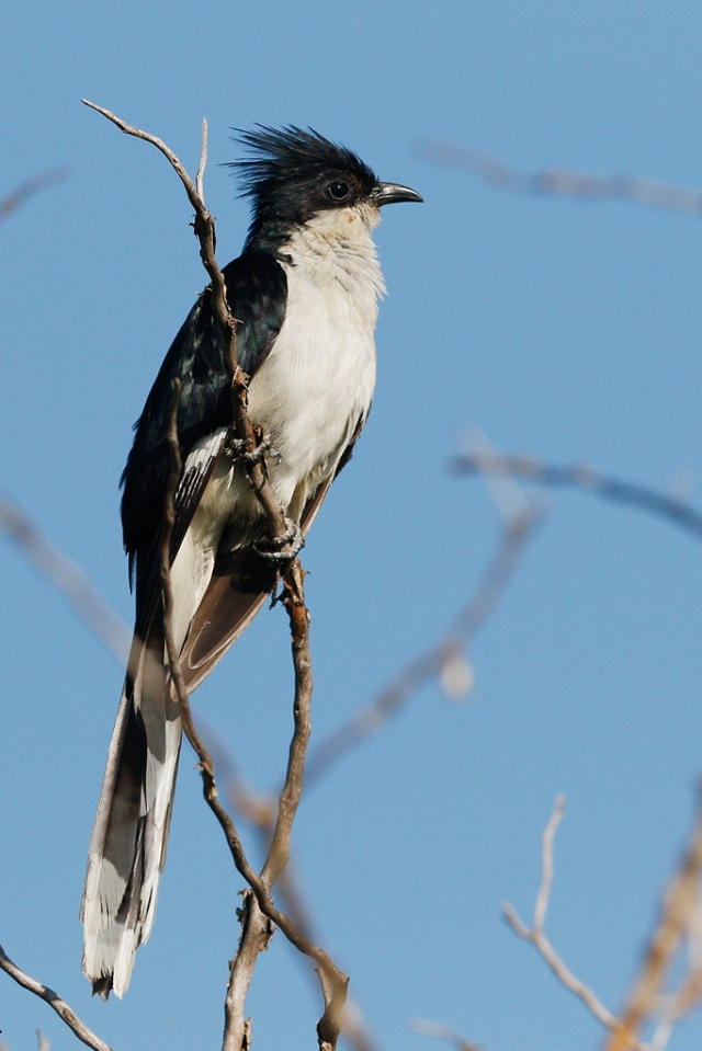 Leveillants-Cuckoo-Kgomo-Kgomo-North-West-Province-South-Africa-04-January-2014-6-CR-SMSH