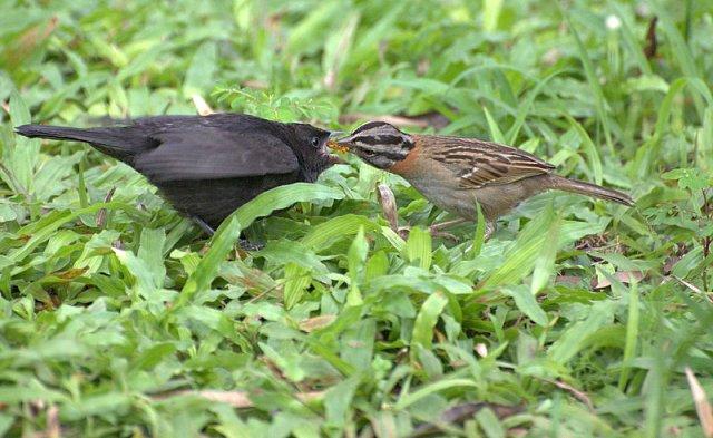 (Molothrus_bonariensis)_e_(_Zonotrichia_Capensis_)فرخ شُحرُور بقر لمَّاع تُطعمه أنثى عصفور دوري أمغر الطوق.