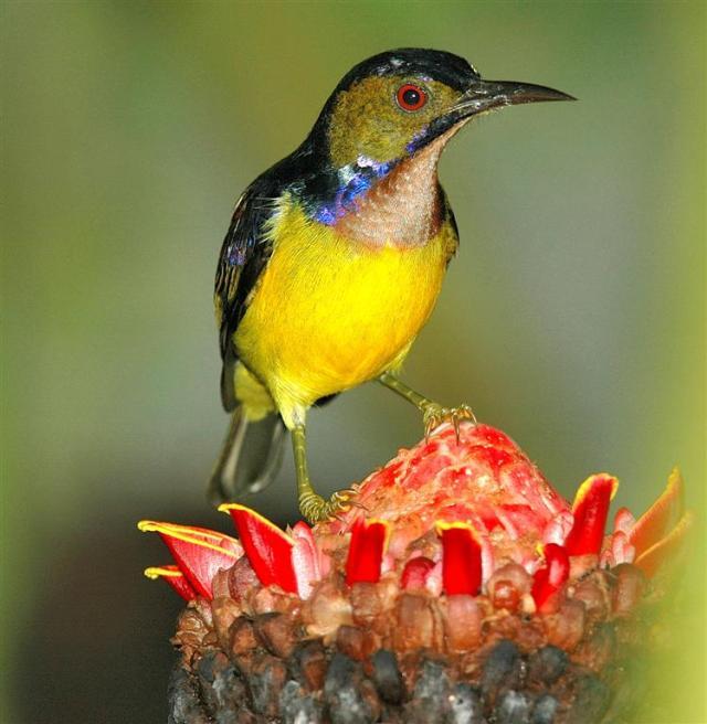 Plain-throated_Sunbird