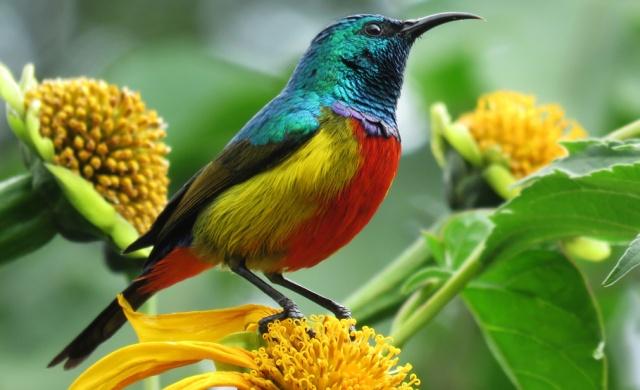 Regal-Sunbird