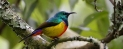Regal_Sunbird_header