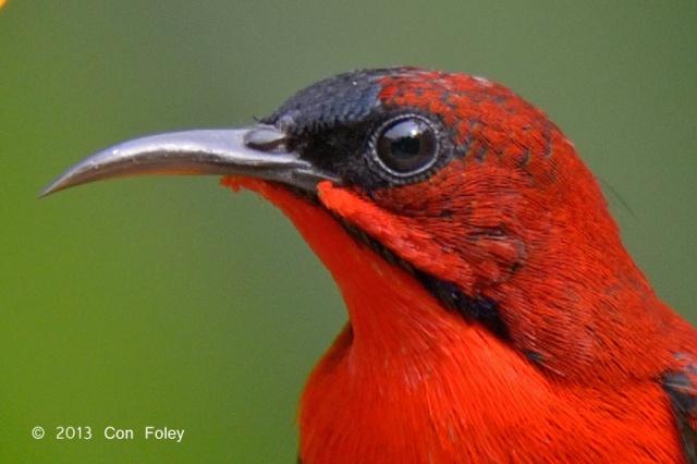 Sunbird-Crimson-D81_1425.100