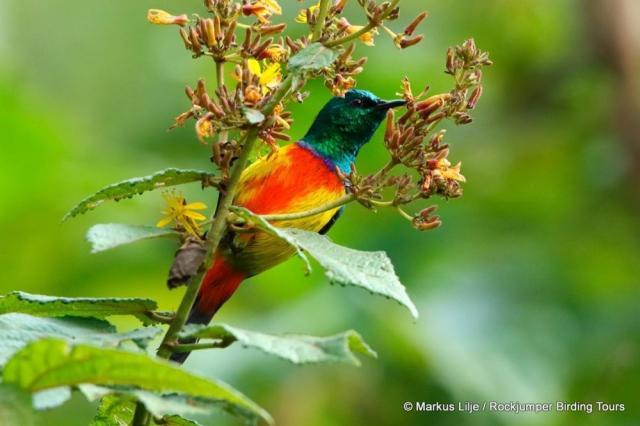 Sunbird_Regal_Bwindi_-004