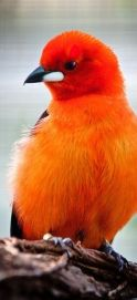 144968b239beddbf5bf83e945ced2c17--orange-color-orange-birds